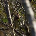 ミヤマホウジロウ雌
