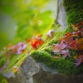 苔とモミジ
