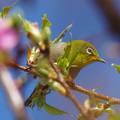 写真: メジロと河津桜