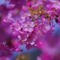 早春に咲き誇る!