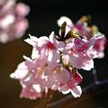 Photos: 桜開花!