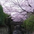 Photos: 桜と小橋
