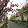 桜並木と銀杏並木