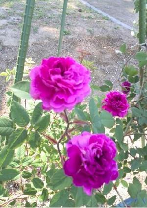 rose-g