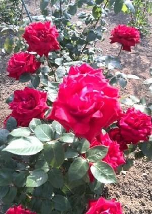 rose-i