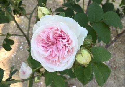 rose-f