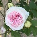Photos: rose-f