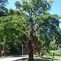 Photos: Tさんに教わった 沙羅の木、上の方は葉ばかりで