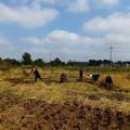 Photos: 10月吉日 稲刈りです