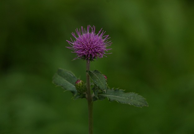 Photos: ロシアンレンズ アザミの花