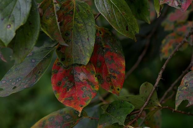ロシアンレンズで撮影 柿の葉