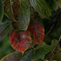 Photos: ロシアンレンズで撮影 柿の葉
