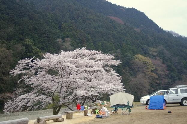 花見場所には桜が3本