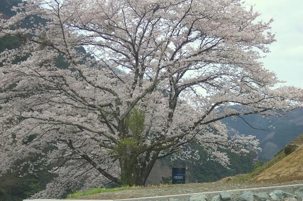 桜の下のドラム缶風呂