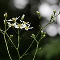 シラヤマギク(白山菊)  キク科