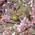 Photos: メジロ(目白)と河津桜