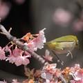 Photos: 花から花へジャンプメジロと河津桜
