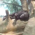 チンパンジー昼寝(7月17日、ズーラシア)