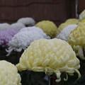 菊花祭 D7255