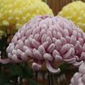 菊花祭 D7256