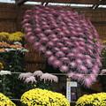 菊花祭 D7268