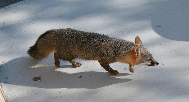 Gray Fox (2)