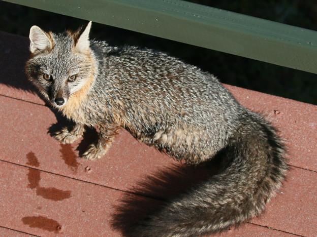 Gray Fox (5)