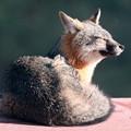 Photos: Gray Fox (8)