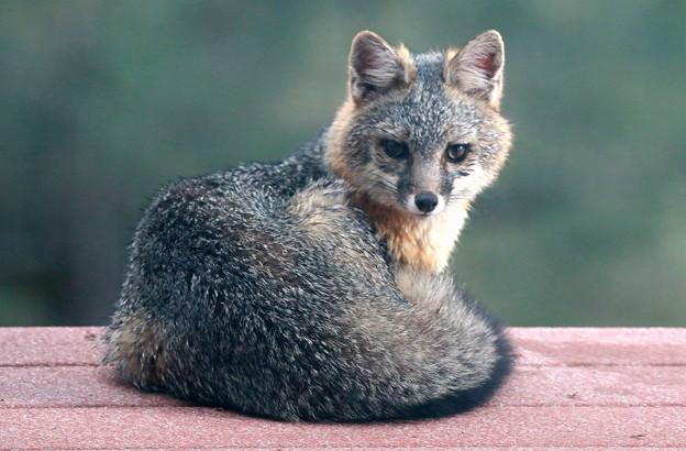Gray Fox (9)