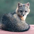 Photos: Gray Fox (9)