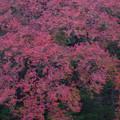 アケボノの赤い葉