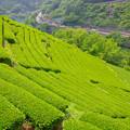 仁淀の茶畑