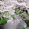 Photos: IMGP6686尾道市、栗原川の桜土手2