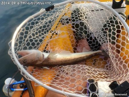 2014‐09‐6,7サバしか釣れないけど (4)