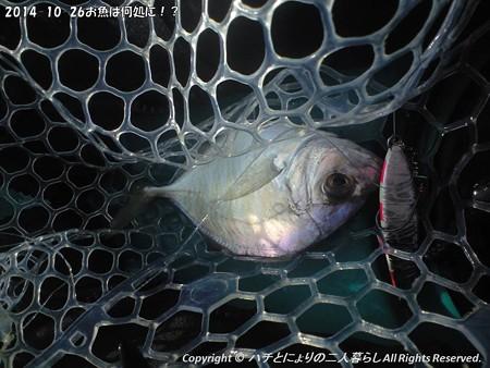 2014-10-26お魚は何処に!? (5)