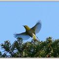 写真: メジロの飛翔 No.1