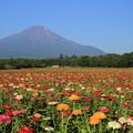 富士山と百日草 2014