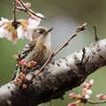 Photos: コゲラの花見