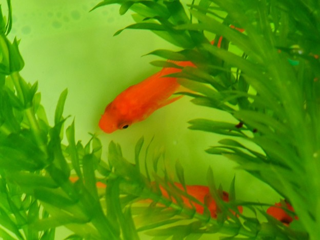 Photos: 金魚