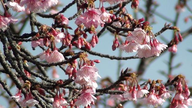 子供の国の寒緋桜