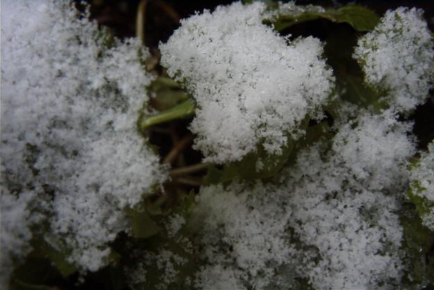 雪のカキ菜