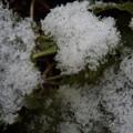 写真: 雪のカキ菜