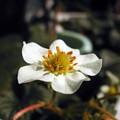 写真: 苺の花