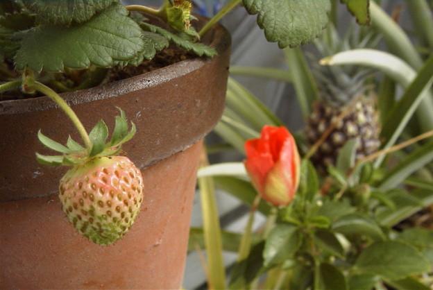 写真: 熟し始めた苺