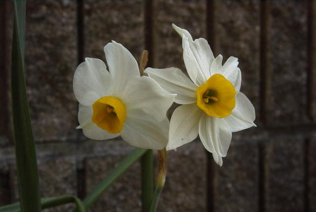 寄り添う水仙の花