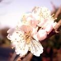 Photos: 桜桃