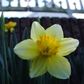 写真: 咲き始めたラッパ水仙