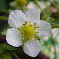 苺の花の蟻