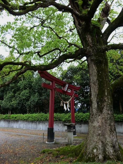 鳥居を見守る大木