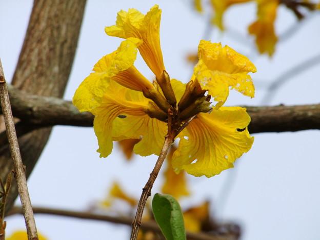 イペーの花